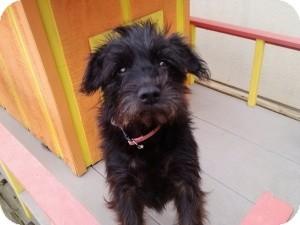 Schnauzer (Miniature) Mix Dog for adoption in Mary Esther, Florida - Karma