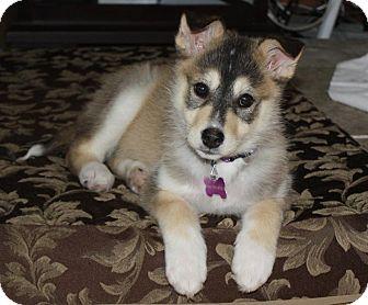 German Shepherd Dog Mix Puppy for adoption in Winnipeg, Manitoba - Cher