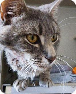 Domestic Mediumhair Cat for adoption in Denver, Colorado - Crook