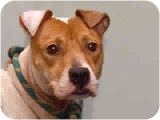 American Staffordshire Terrier/Jack Russell Terrier Mix Dog for adoption in New York, New York - Dalia