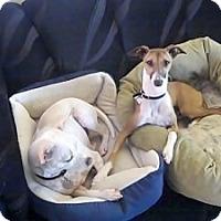 Adopt A Pet :: Milano - Costa Mesa, CA