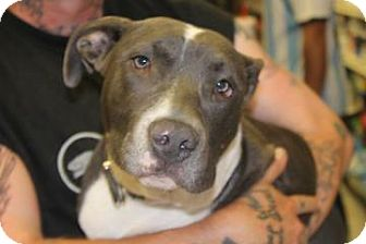 Pit Bull Terrier Mix Dog for adoption in Brooklyn, New York - Spike