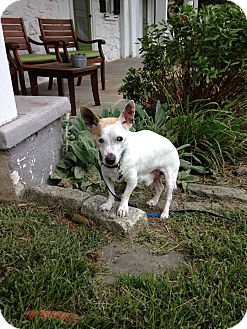 Jack Russell Terrier Dog for adoption in Wilmington, Delaware - Pie