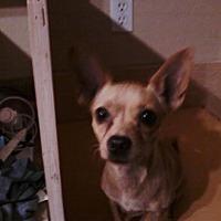 Adopt A Pet :: Carmela - Gilbert, AZ