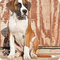 Adopt A Pet :: Linda McCartney - Los Angeles, CA
