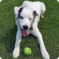 Adopt A Pet :: COSMO DEAF - pending adoption - Post Falls, ID