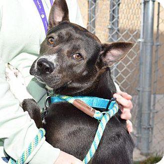 Australian Cattle Dog/Akita Mix Dog for adoption in Denver, Colorado - Tasha