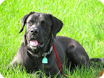Labrador Retriever Dog for adoption in Westwood, New Jersey - Samson