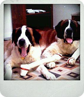 St. Bernard Mix Dog for adoption in Rockville, Maryland - Will & Grace