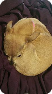 Chihuahua Mix Dog for adoption in Taylorsville, Utah - Molly