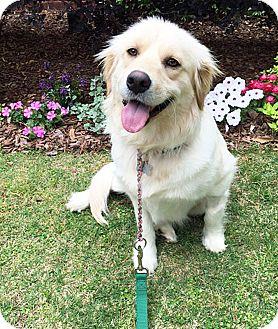 Golden Retriever/Great Pyrenees Mix Dog for adoption in BIRMINGHAM, Alabama - Sassy