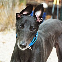 Greyhound Dog for adoption in Ware, Massachusetts - DJay