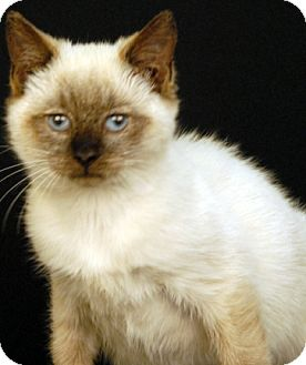 Siamese Cat for adoption in Newland, North Carolina - Shakespeare