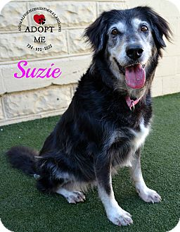 Border Collie Mix Dog for adoption in Youngwood, Pennsylvania - Suzie