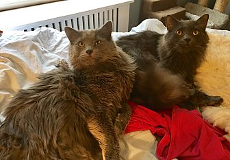 Domestic Longhair Cat for adoption in Ardsley, New York - Fig & Rudy