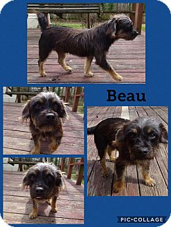 Cairn Terrier Mix Dog for adoption in East Hartford, Connecticut - Beau-pending adoption