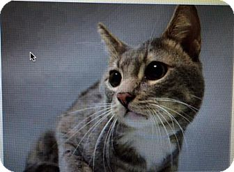 Domestic Shorthair Cat for adoption in Freeport, New York - Croix