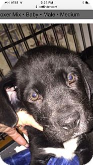 Boxer Mix Puppy for adoption in Patterson, New York - Archie
