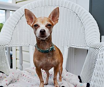 Chihuahua Dog for adoption in Pittsburgh, Pennsylvania - Scarlett