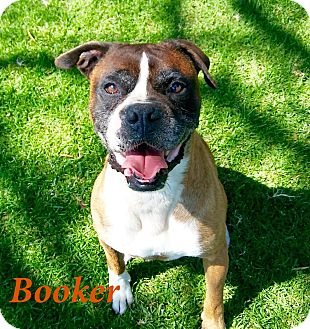 Boxer Dog for adoption in El Cajon, California - Booker