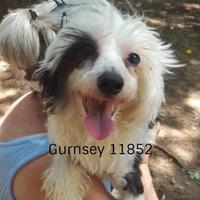 Chinese Crested Mix Dog for adoption in Manassas, Virginia - Gurnsey