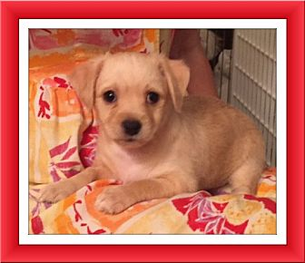 Bichon Frise/Chihuahua Mix Puppy for adoption in Tulsa, Oklahoma - Adopted!! Liam - NV