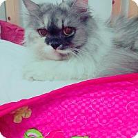 Adopt A Pet :: Gigi Purrsian - Norwalk, CT