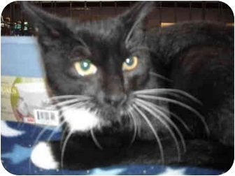 Domestic Shorthair Cat for adoption in Riverside, Rhode Island - Sassy
