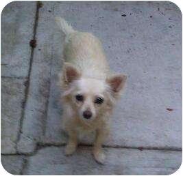 Chihuahua/Papillon Mix Dog for adoption in Inglewood, California - Lola