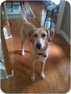 Labrador Retriever Mix Dog for adoption in Cumming, Georgia - Fenway