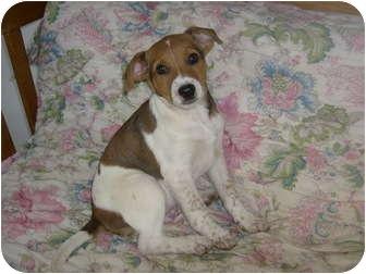 German Shepherd Dog/Setter (Unknown Type) Mix Puppy for adoption in Eden, North Carolina - Sage