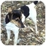 Photo 1 - Rat Terrier Mix Dog for adoption in Bandera, Texas - Cloee