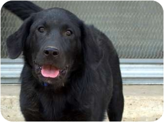 Labrador Retriever Mix Puppy for adoption in Evergreen, Colorado - Voyage