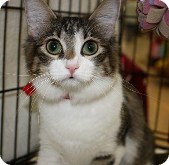 "Domestic Shorthair Kitten for adoption in Vero Beach, Florida - Dream Catcher ""Dreamy"""