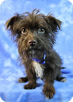Terrier (Unknown Type, Small) Mix Puppy for adoption in Westminster, Colorado - Pascale