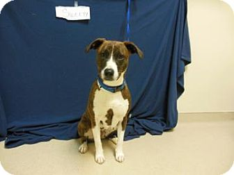 Pit Bull Terrier Mix Dog for adoption in Gary, Indiana - Sweety