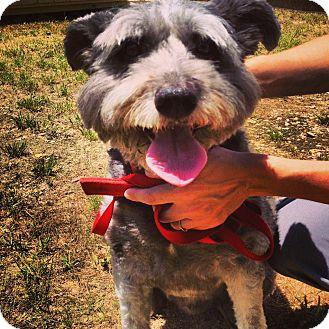 Schnauzer (Standard) Mix Dog for adoption in Waldorf, Maryland - Schneider