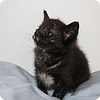 Adopt A Pet :: Torti - Austin, TX