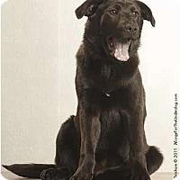 Adopt A Pet :: Shami - Holland, MI