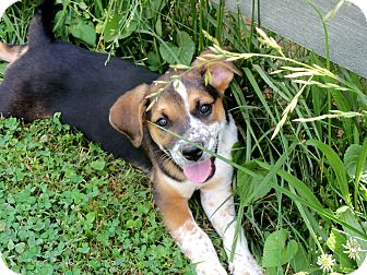 Beagle Mix Puppy for adoption in Salem, New Hampshire - FREDA