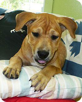 Boxer/Labrador Retriever Mix Puppy for adoption in Eastpoint, Florida - Sammi