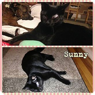 Domestic Shorthair Kitten for adoption in bridgeport, Connecticut - Sunny
