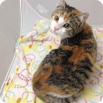 Domestic Shorthair Kitten for adoption in Fountain Hills, Arizona - TWINKY