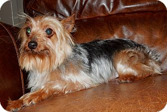 Yorkie, Yorkshire Terrier Dog for adoption in Fairview Heights, Illinois - Levi