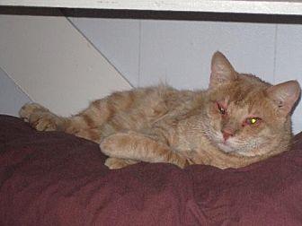 Domestic Mediumhair Cat for adoption in Sherman Oaks, California - LT - sponsor only