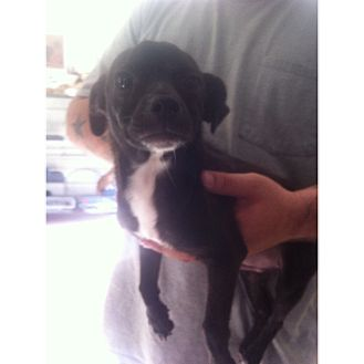 Chihuahua Mix Puppy for adoption in Weeki Wachee, Florida - Prince