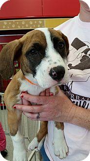 Basset Hound/Labrador Retriever Mix Puppy for adoption in Harrisburg, North Carolina - Star