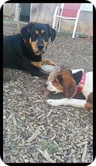 Foxhound/Hound (Unknown Type) Mix Dog for adoption in Duart, Ontario - Simon