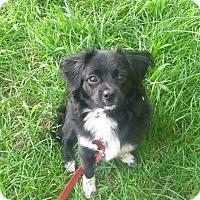Adopt A Pet :: Ollie - Mount Kisco, NY