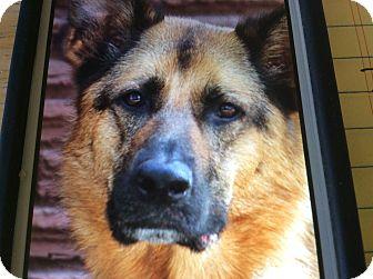 German Shepherd Dog Dog for adoption in Los Angeles, California - BACI VON BARBI